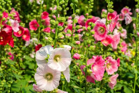 hock: Flowers Holly Hock (Hollyhock) white and pink in the garden