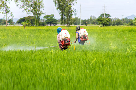 fungicide: The farmers are crop spraying in the green rice fields
