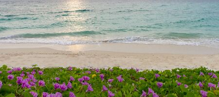 pes caprae: pink flowers (Ipomoea pes-caprae) and beach in the morning sunrise Stock Photo