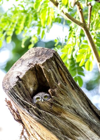 cavities: Owl (Spotted owlet) in cavities nature Stock Photo
