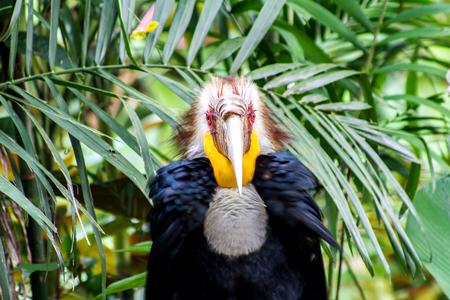 undulatus: Close up of wreathed hornbill  (Aceros Undulatus) Stock Photo