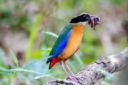 earthworms: Bird colorful (Blue winged pitta) eating earthworms in forests Stock Photo