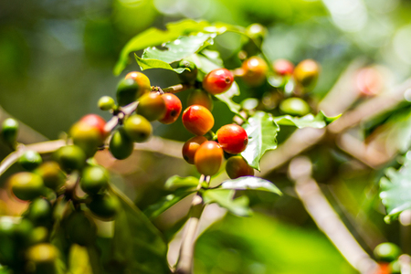Raw coffee beans in coffee plant