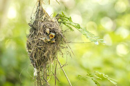 Silver-breasted Broadbill (Serilophus lunatus) baby in the nest