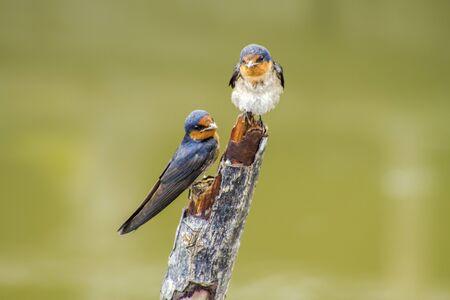 Pacific swallow (Hirundo tahitica) on branch