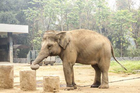 Elephant foot, Elephant legs with chain Stock Photo