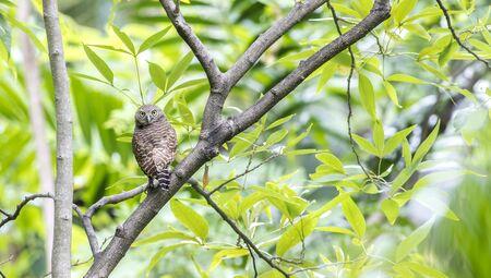 Asian Barred Owlet (Glaucidium cuculoides) Stok Fotoğraf