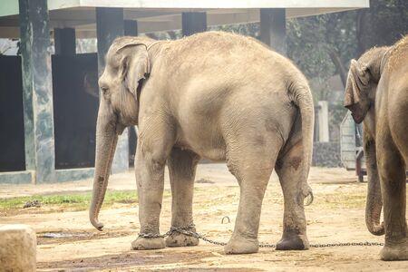 Elephant foot, Elephant legs with chain