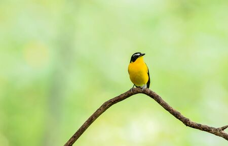 Male of Yellow-rumped Flycatcher (Ficedula zanthopygia) Beautiful Bird with perched on a branch