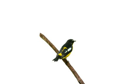 Male of Yellow-rumped Flycatcher (Ficedula zanthopygia) Beautiful Bird with perched on a branch white background Banco de Imagens