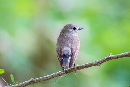 Red-throated Flycatcher (Ficedula albicilla) on the branches Imagens