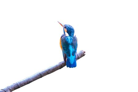 Common Kingfisher, female (Alcedo atthis) beautiful color and catch on perched a branch with isolated background Stockfoto