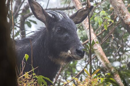 Serow, Southern Serow, Capricornis Sumatraensis on the cliffs in the forest