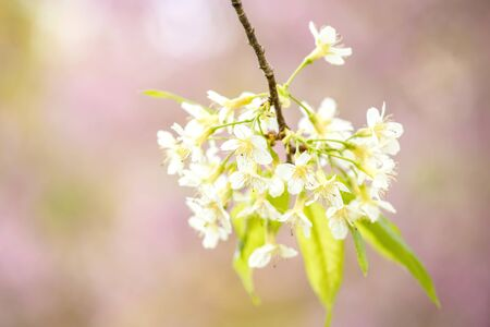 Cherry blossom flowers, Wild Himalayan Cherry  ( Prunus cerasoides ) at north of Thailand Stock Photo