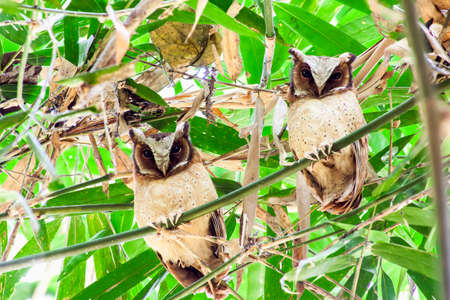 White-fronted Scops Owls, stick together on the bamboo tree Zdjęcie Seryjne