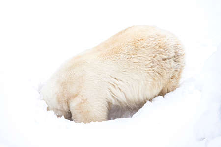 Polar Bear (Ursus maritimus) enjoy playing in the snow
