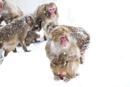 Japanese Snow monkey on winter snow in Japanese Stockfoto