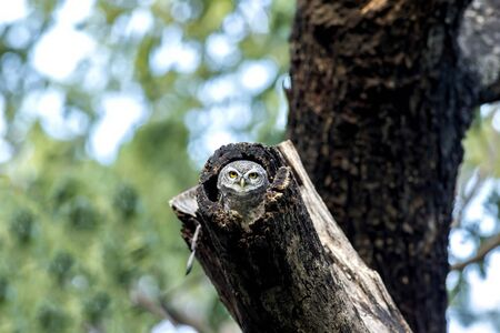 Spotted owlet (Athene brama) in nature