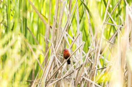 Red avadavat,red munia or strawberry (Amandava amandava) finch perching on Grass Red avadavat is small red bird Zdjęcie Seryjne