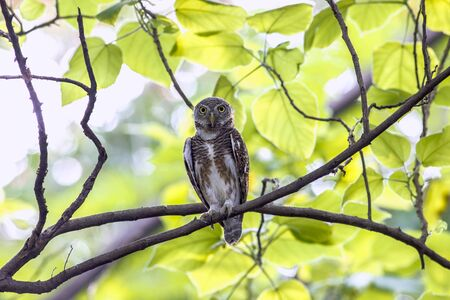 Asian barred owlet ( Glaucidium cuculoides) in tropical forest, Thailand