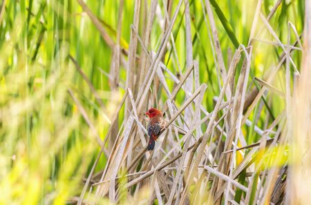 Red avadavat,red munia or strawberry (Amandava amandava) finch perching on Grass Red avadavat is small red bird Zdjęcie Seryjne - 149289840