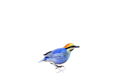 Blue Pitta bird (Hydrornis cyanea) isolated on white background
