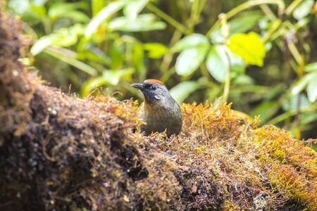 Scarlet-faced Liocichla (Liocichla ripponi) in nature Zdjęcie Seryjne