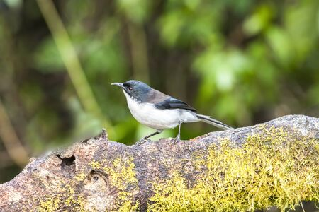Dark-backed Sibia ( Heterophasia melanoleuca ) in  nature