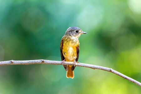 Ferruginous Flycatcher (Muscicapa ferruginea ) on the branch in the nature