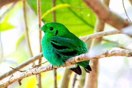Bird color (green broadbill) bird in vivid green color in forest Zdjęcie Seryjne