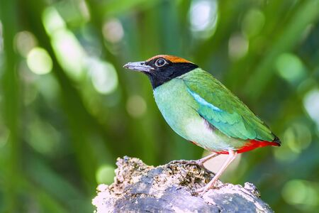 Bird, Beautiful Hooded pitta (Pitta sordida) stand in the nature, Kaeng Krachan National Park, The jungle of Thailand Zdjęcie Seryjne