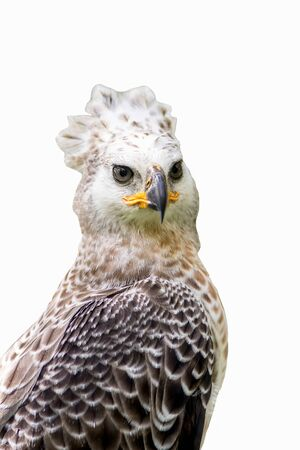 Portrait of a eagle symbol the hunting Zdjęcie Seryjne