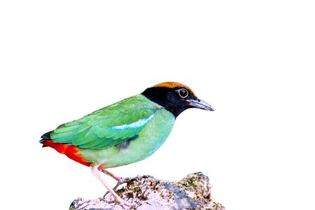 Bird, Beautiful Hooded pitta (Pitta sordida) stand in the nature, Kaeng Krachan National Park, The jungle of Thailand Stock Photo