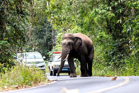 Big Elephant in Khao Yai National Park, Thailand