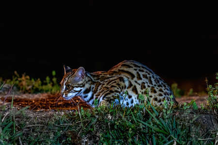 Beautiful, Leopard cat (Prionailurus bengalensis) male in the nature, Thailand Zdjęcie Seryjne