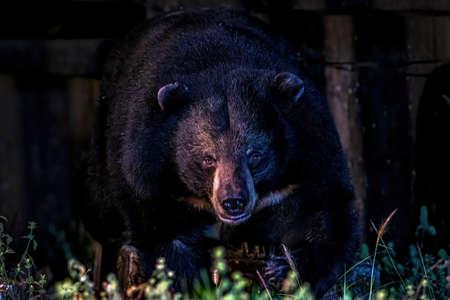 Asiatic Black Bear, Asian black bear (Ursus thibetanus, Himalayan Black Bear) at Khao Yai National Park, Thailand