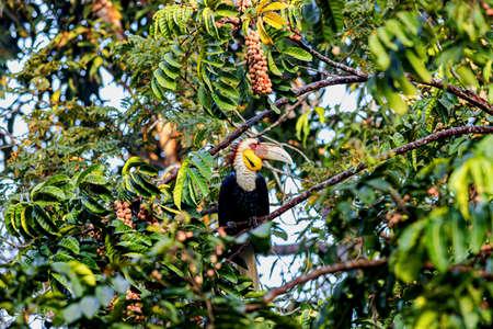 Wreathed Hornbill, Male (Rhyticeros undulatus) Perching On Tree in Khao Yai National Park, Thailand