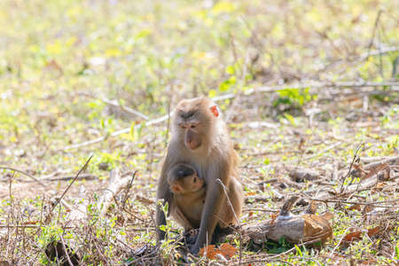 Monkey, Northern Pig-tailed Macaque (Macaca leonina) in Khao Yai National Park, Thailand Zdjęcie Seryjne