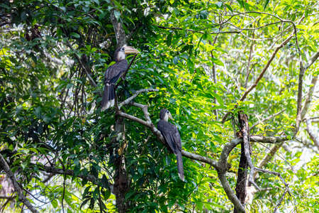 Austen's brown hornbill (White-throated Brown Hornbill ) in nature, Khao Yai National Park, Thailand