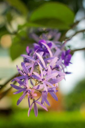 petrea: Petrea volubilis , Petrea Flowers on the bright background.