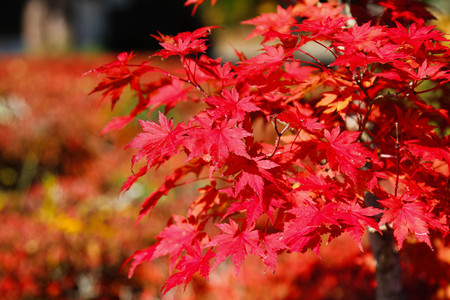 Maple leaf , Maple leaves, discolored leaves. Imagens - 90297821