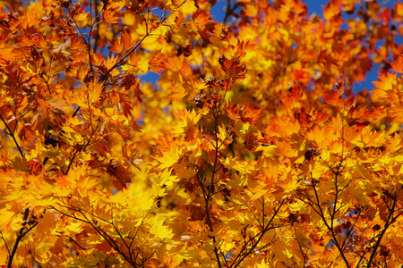 Maple leaf , Maple leaves, discolored leaves. Imagens - 90297839