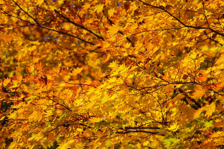 Maple leaf , Maple leaves, discolored leaves. Imagens - 90297840