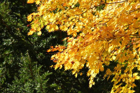 Maple leaf , Maple leaves, discolored leaves. Imagens - 90297842
