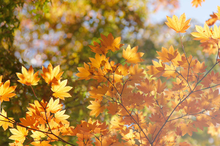 Maple leaf , Maple leaves, discolored leaves. Imagens - 90297843
