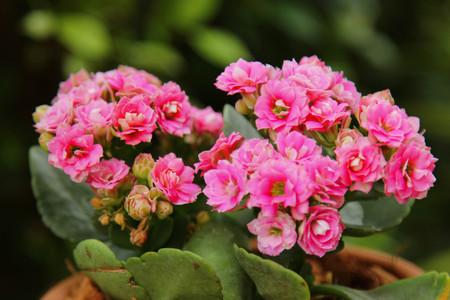 Kalanchoe Blossfeldiana , Houseplant colorful Kalanchoe in a greenhouse Imagens - 95086198