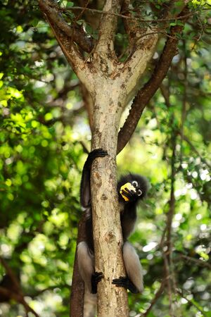 Lemong , Trachypithecus obscurus , Wildlife reserve , Wild animal
