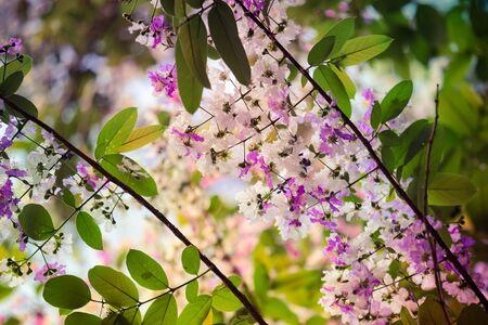 Inthanin flowers , Beautiful purple and white Inthanin flowers. Imagens