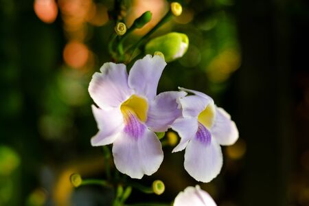 Beautiful purple flowers in the tropics , Bengal Trumpet , Thunbergia grandiflora