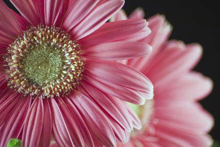 A close-up of a pair of Gerbera daisies.